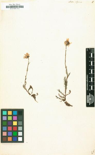 Anthemis cretica L. subsp. alpina (L.) R.Fern.