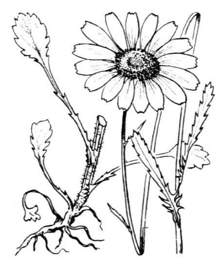 Leucanthemum ircutianum DC. subsp. asperulum (N.Terracc.) Vogt & Greuter