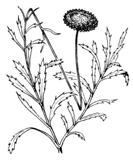 Leucanthemum virgatum (Desr.) Clos