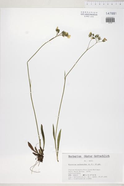Pilosella anchusoides Arv.-Touv.
