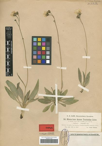 Hieracium annae-toutoniae Zahn subsp. vilpianense Gottschl.