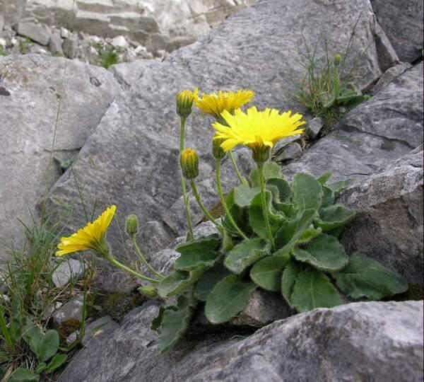 Hieracium bornetii Burnat & Gremli