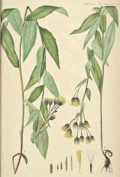 Hieracium crocatum Fr.