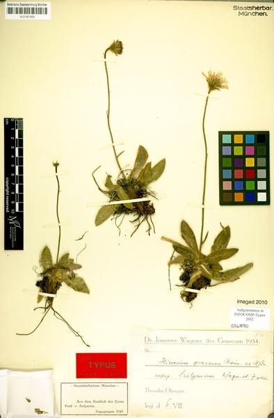 Hieracium graecum Boiss. & Heldr.
