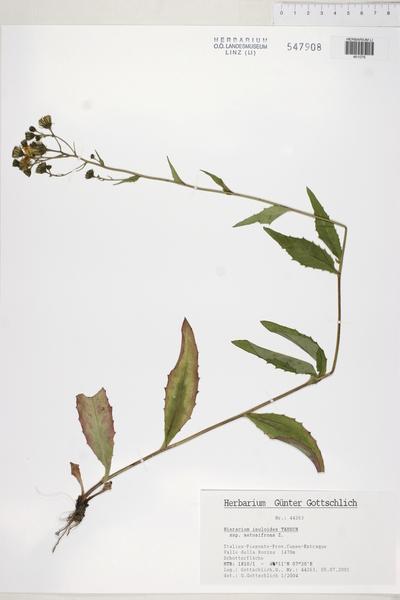Hieracium inuloides Tausch