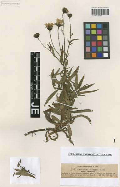 Hieracium leiocephalum Bartl. ex Griseb.