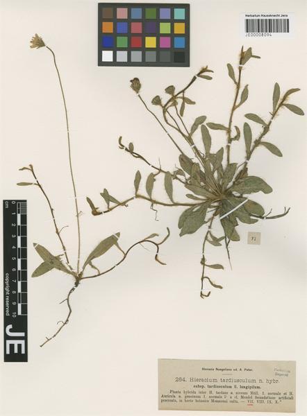 Pilosella tardiuscula (Peter) Soják