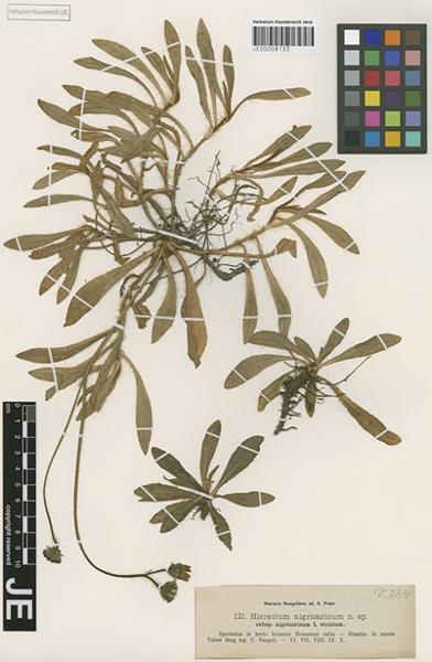 Pilosella nigricarina (Nägeli & Peter) Soják