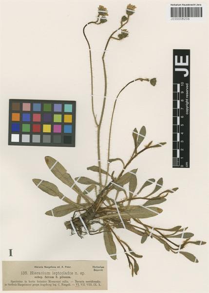 Pilosella leptoclados (Peter) Soják