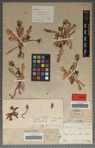 Taraxacum helveticum Soest