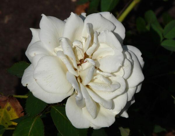 Rosa 'Memoire ™'