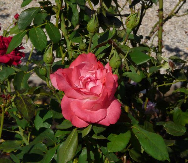 Rosa 'Agnes Bernauer'