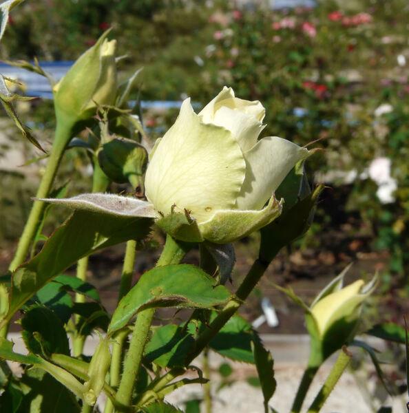 Rosa 'Croix Verte'