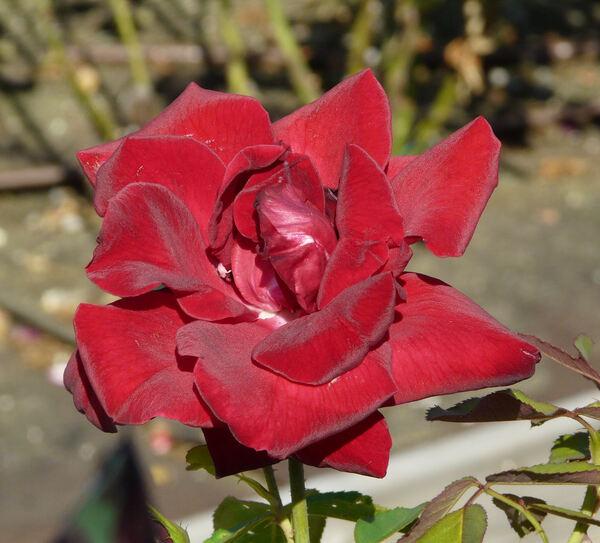 Rosa 'Château d'Amboise ®'