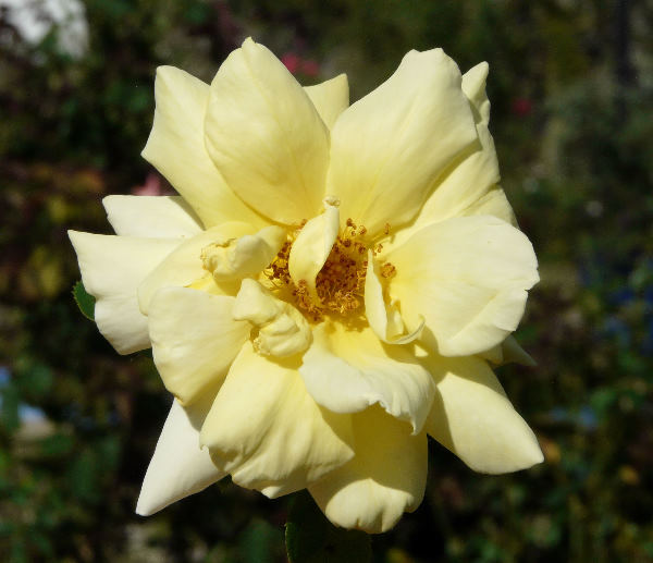 Rosa 'Christel von der Post ™'