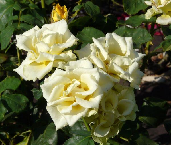Rosa 'Inka'