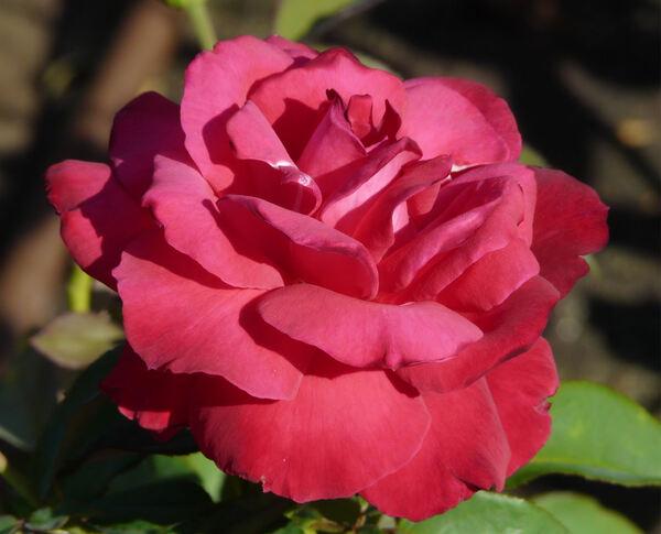 Rosa 'Forgotten Dreams'
