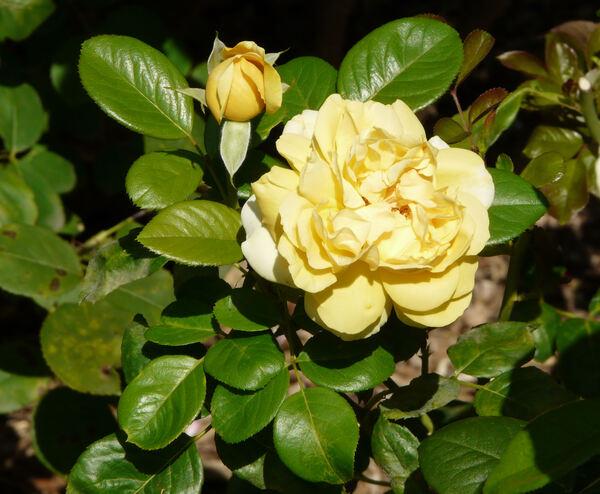 Rosa 'Michelangelo ™'