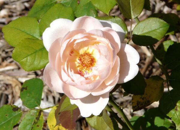 Rosa 'Ambridge Rose ®'