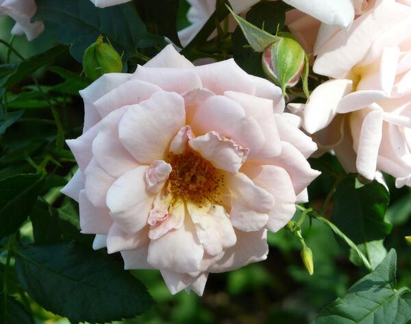 Rosa 'Geisha ®'