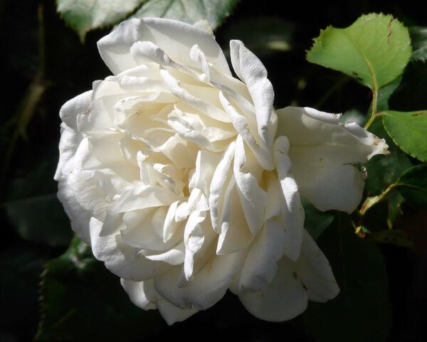Rosa 'Roberto Capucci ®'