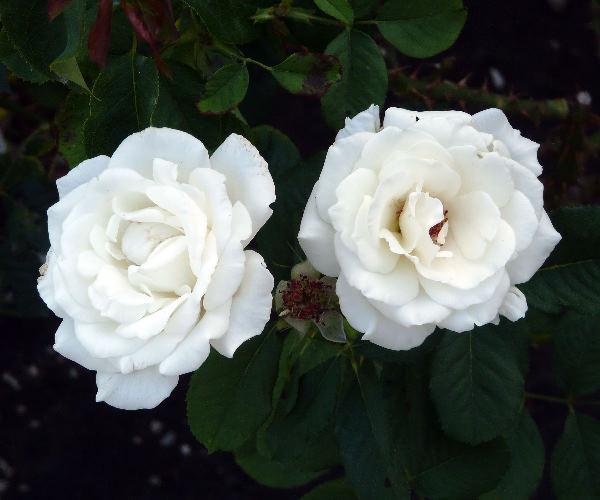Rosa 'Kosmos ®'