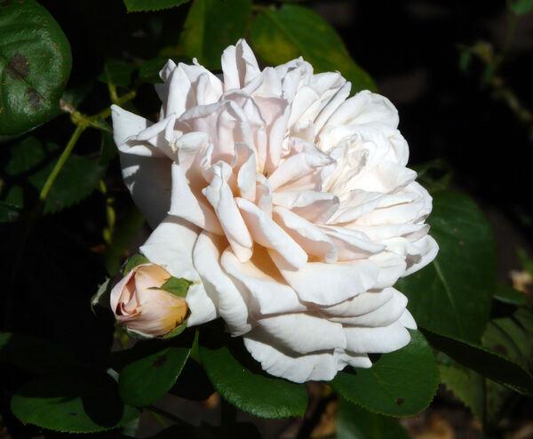 Rosa 'Stile '800 ®'