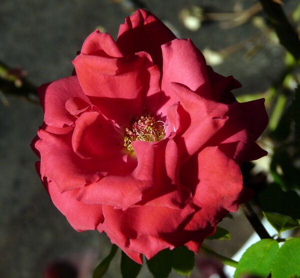 Rosa 'Pride of England'
