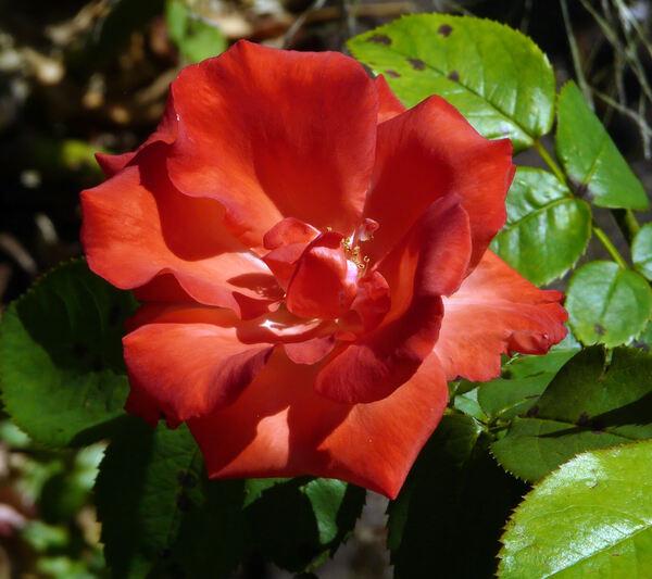 Rosa 'Ave Maria ®'