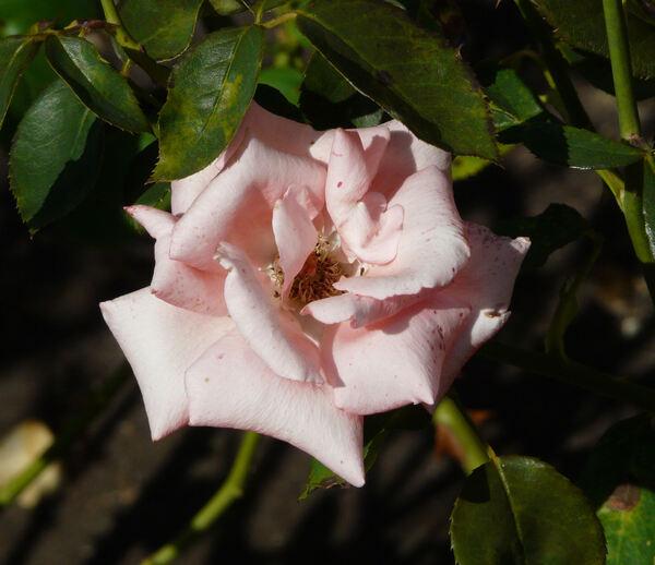 Rosa 'Harmonie ®'