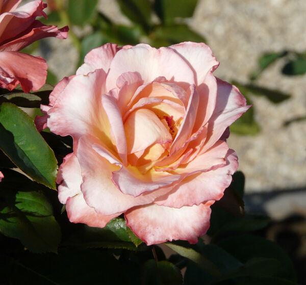 Rosa 'Sweet Heart'