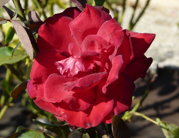 Rosa 'Red Lion'