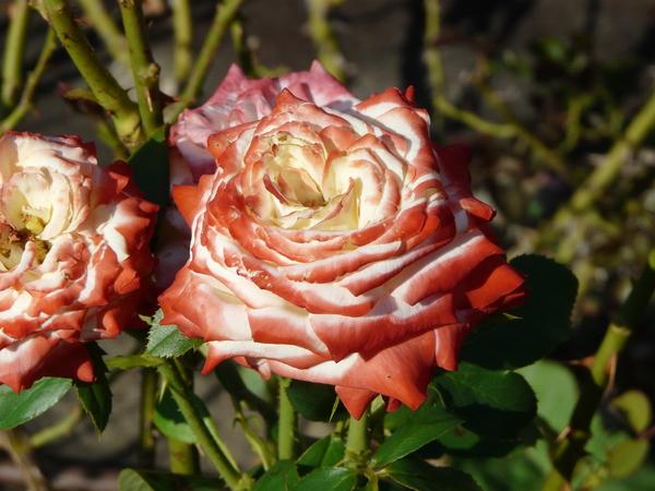 Rosa 'Impératrice Farah ®'