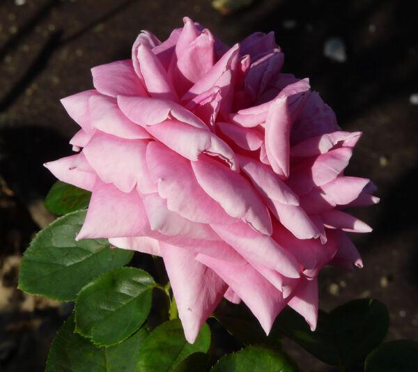 Rosa 'Cherry Pie'