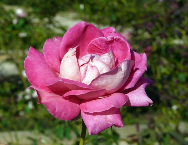 Rosa 'Acqua Cheta'