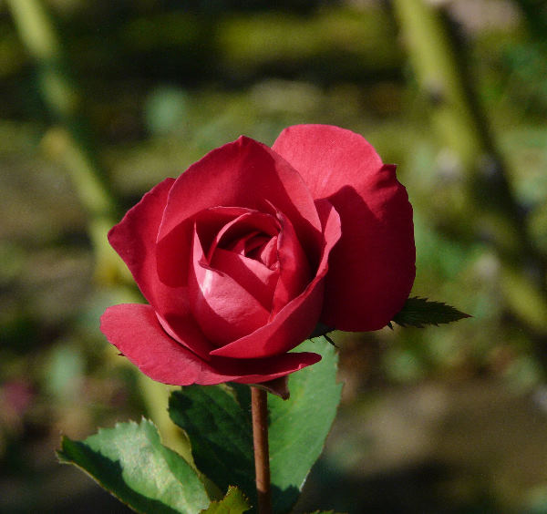 Rosa 'Antoine Noailly'