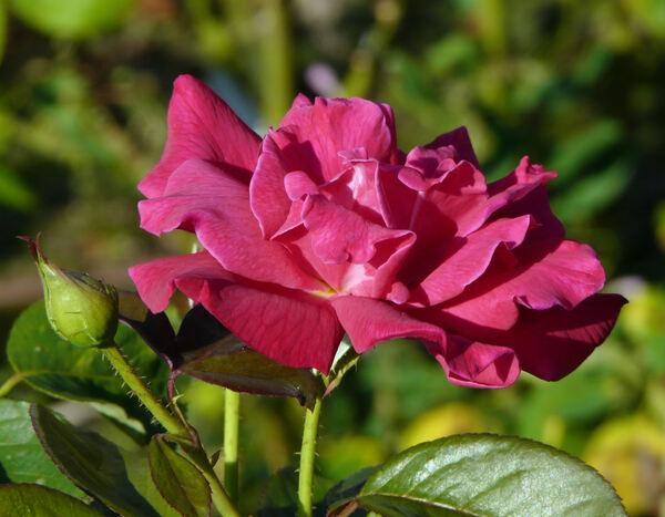 Rosa 'Aida'