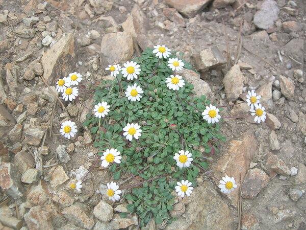 Bellium bellidioides L.