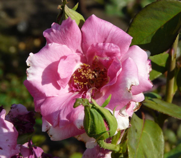 Rosa 'Andres Battle'