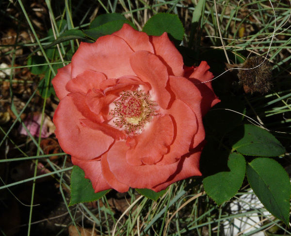 Rosa 'Coral Fiesta ®'