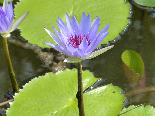 Nymphaea 'Wood's Blue Goddess'