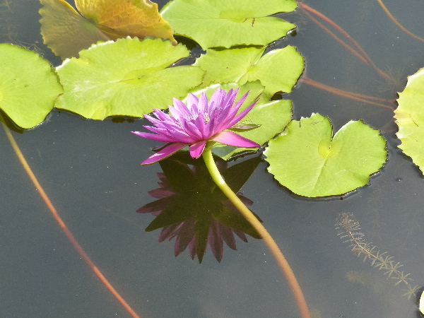 Nymphaea 'Royal Red'
