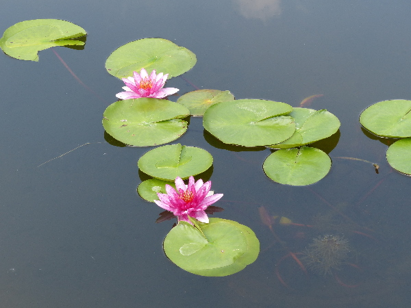 Nymphaea 'Splendida'