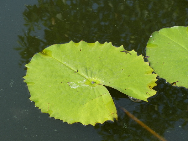 Nymphaea 'Lindsey Woods'