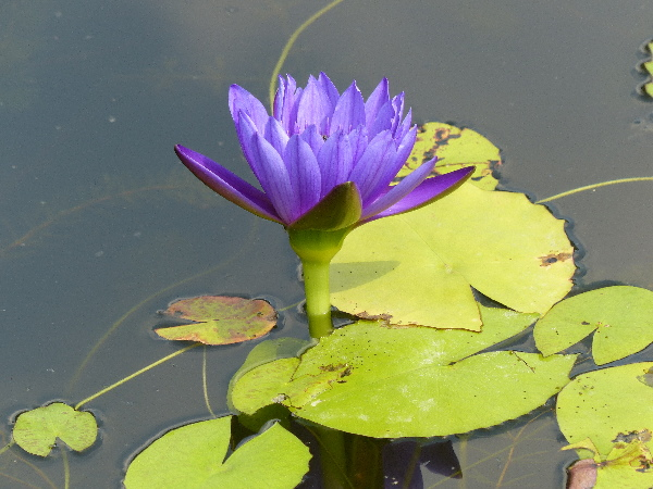 Nymphaea 'King of the Blues'