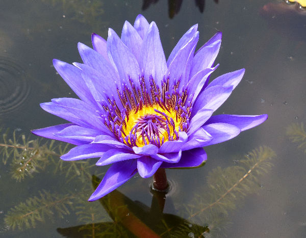 Nymphaea 'Director George T. Moore'