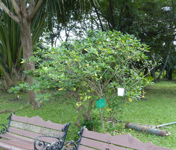 Gardenia augusta (L.) Merr.