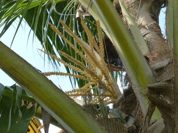 Cocos nucifera L. 'Tan'
