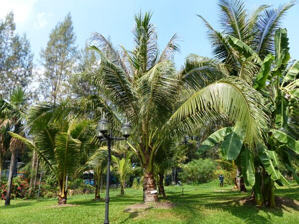 Cocos nucifera L. 'Ta diew'