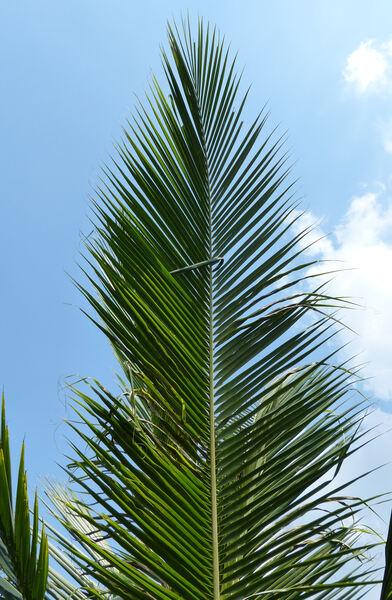 Cocos nucifera L. 'Puang thong'